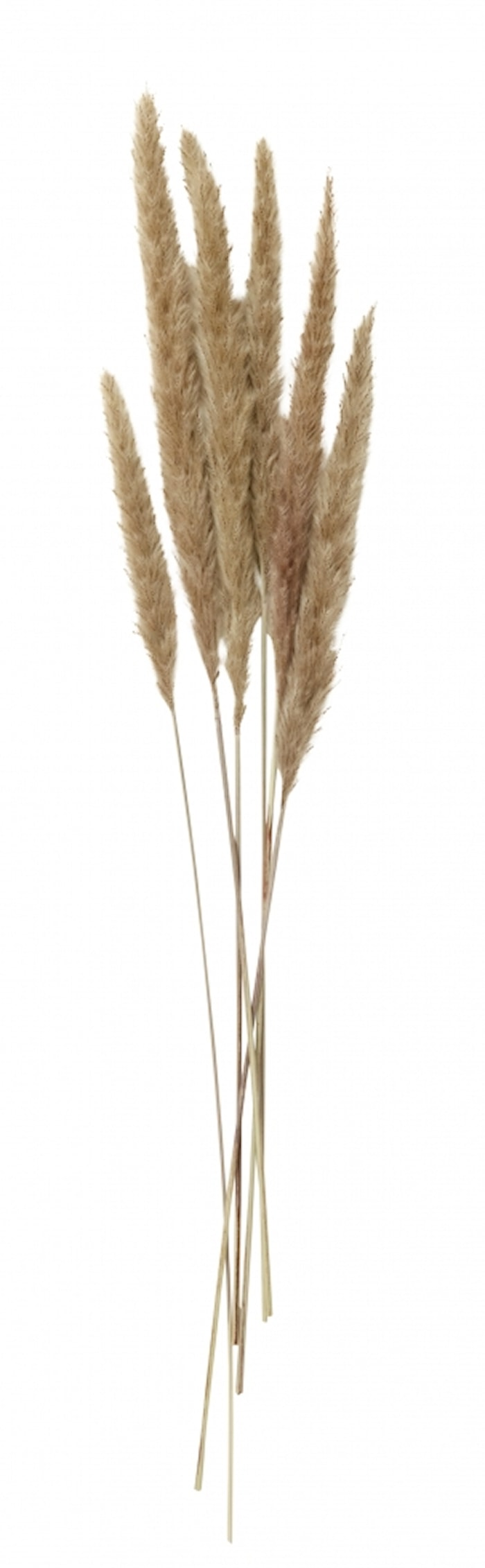REED Blomst Natur 6 stk