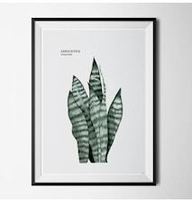 Plant sansevieria poster